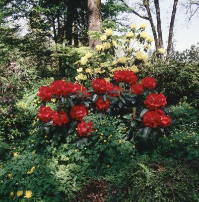Rhododendron Flowers in French Garden